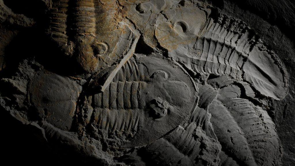 Trilobites - Asaphellus Toledanus (GIL CID, 1976)