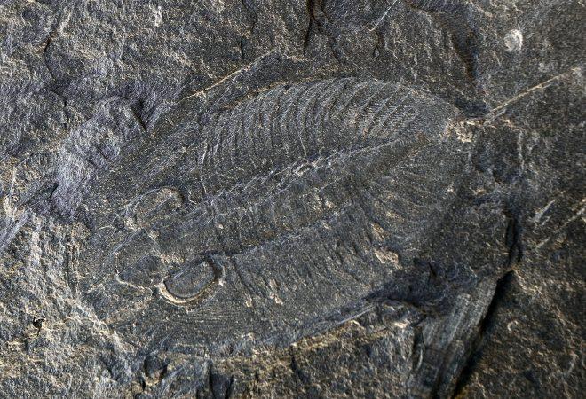 Trilobite - Nobiliasaphus Delessei (DUFET, 1875)