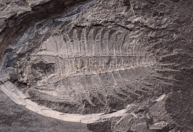 Trilobite - Pateraspis Mediterranea (HAMMANN, 1972)