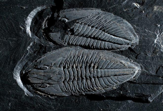 Trilobites - Basilicus