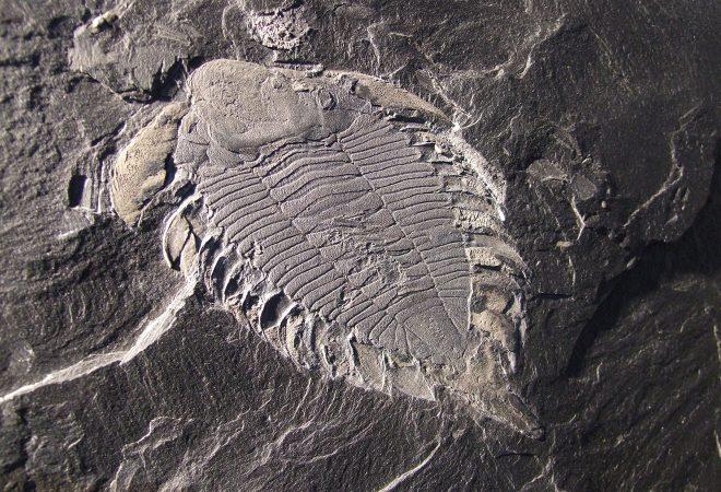 Trilobites - Uralichas