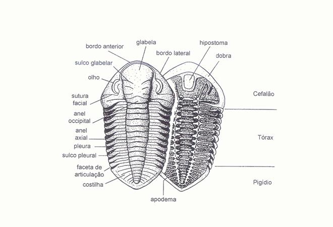 Morfologia das trilobites