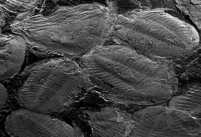 Ninho de trilobites